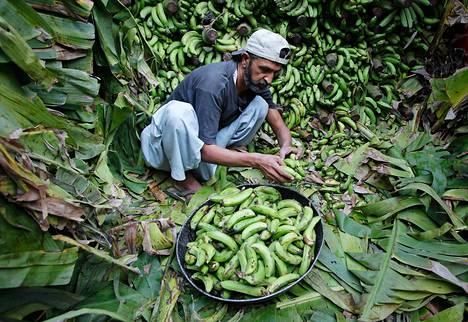 Mies keräsi banaaneja Pakistanissa marraskuussa 2011.