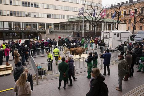Kaksi lehmää Helsingin keskustassa.