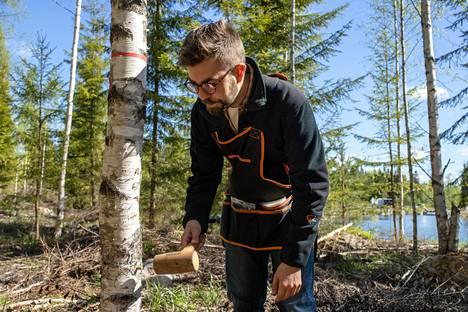 Metsäpalvelujohtaja Henri Lokki on ollut kehittämässä kääpäsienien viljelytekniikkaa. Pakurikäävän viljely alkaa koivun runkoon ympätystä tapista, johon on kasvatettu sienirihmastoa.