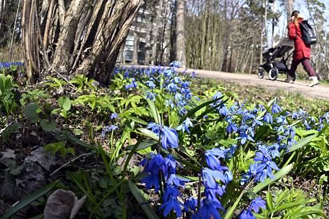 Scillat eli idänsinililjat kukkivat Helsingissä raikkaana mutta aurinkoisena äitienpäivänä.