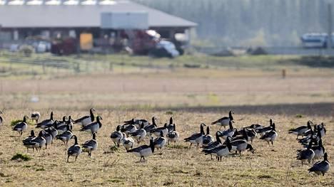 Sadattuhannet valkoposkihanhet pysähtyivät kevätmuuttomatkallaan tankkaamaan pelloille ja söivät kaiken orastavan kasvuston. Osa muuttomatkalaisista ruokaili Kiteellä toukokuun lopussa.
