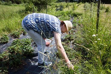 Pipolakodin pihalla on oma mansikkamaa ja marjapensaita. Pipolassa neljä vuotta asunut Maija Virtanen nauttii marjastamisesta ja metsässä retkeilemisestä, joita hän pääsee tekemään luonnon ympäröimässä hoitokodissa.