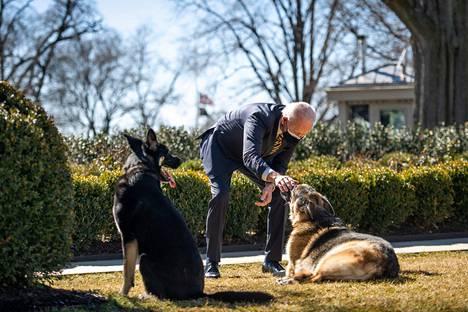 Presidentti Joe Biden leikki koiriensa Champin (oikealla) ja Majorin kanssa Valkoisen talon Rose Gardenissa helmikuussa.