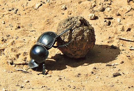 Sontaa rullaava lantakuoriainen ei ole yksi tietty eläin, vaan suku.
