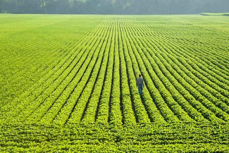 Soija on merkittävä viljelykasvi, joten tutkijat yrittävät saada sen kasvamaan paremmin.