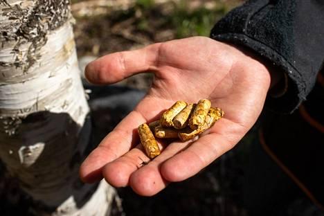 Pakurikäävän viljely-ympit ovat puutappeja, joiden spiraaliuraan on kasvatettu sienirihmastoa.