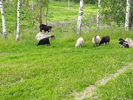 Lampaat laiduntamassa kesällä 2019.