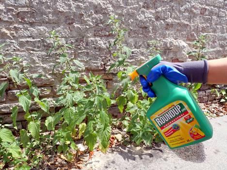 Monsanton kehittämää Roundup-tuotetta käytetään rikkaruohojen torjuntaan kotipuutarhoissa. Kuvassa aineella käsitellään nokkosia Berliinissä kesäkuussa 2019.