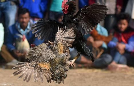 Kukot tappelivat Assamissa vuonna 2017. Kukkotappelut ovat laittomuudestaan huolimatta yleisiä tietyissä osissa Intiaa etenkin maaseudulla.