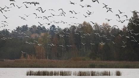 Teutjärvi on valkoposkihanhien syysmuuton aikainen levähdyspaikka. Ilmassa on kova kuhina, kun hanhet kerääntyvät yöpymislennolle.