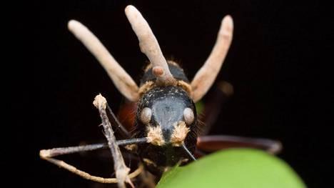 Ophiocordyceps unilateralis -sieni kasvaa esiin orjuuttamansa muurahaisen päästä.