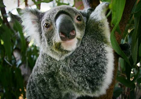 Vanhat tuuhealehtiset puut ovat elintärkeintä koalan selviytymiselle.