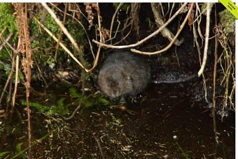 Piisamikanta on elpymässä myös Helsingissä. Tämä eläin kurkisteli puropenkan siimeksestä keskiviikkona aamulla.