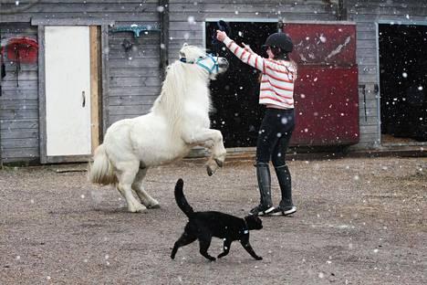 Joonas-poni osaa myös tehdä erilaisia temppuja. Etualalla vilistävä Laku-kissa viihtyy ponien lähellä.