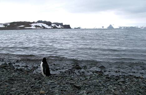 Pingviini tiiraili avomerta Etelämantereella tammikuussa. Etelämantereella on silloin kesä.