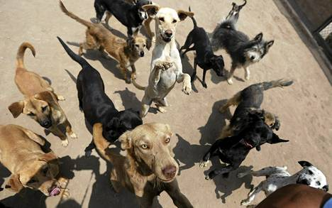 Koirat odottavat ruokintaa Vida Dignan eläinsuojassa Perun pääkaupungissa Limassa tiistaina. Vida Dignaan päätyy etenkin kaltoinkohdeltuja ja hylättyjä koiria, jotta eläinsuoja pyrkii uudelleensijoittamaan.