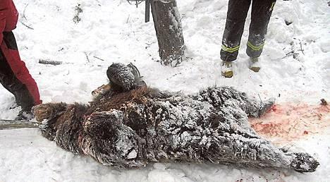 Hyökännyt naaraskarhu oli 160-kiloinen ja noin kaksivuotias.