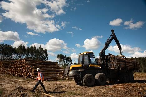 UPM:lle eukalyptusta kasvattava viljelmä Uruguayssa.