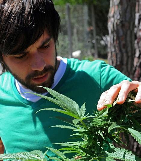 Sebastian Romero tarkasti kasvattamaansa kannabiskasvia El Binarissa Uruguayssa marraskuussa.