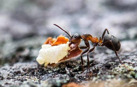Kekomuurahainen kantaa pesäänsä pihkaa. Kun sitä sekoittaa muurahaishappoon, saadaan tehokas taudintappaja. Suuri suomalainen muurahaiskirja -teoksen kuvitusta.