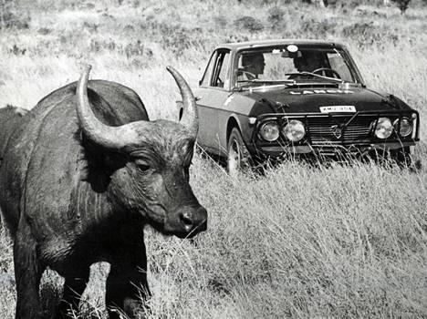 BUFFALO JO TUTTU: Suomen Simo Lampinen on joutunut kahdesti keskeyttämään Safari-rallin alkuvaiheissa. Kymmenen tuhannen kilometrin harjoituslenkillä ovat jo kuitenkin buffalotkin ehtineet tulla tutuiksi, vaikkeivät ne aina yhtä leppoisilta näytäkään.