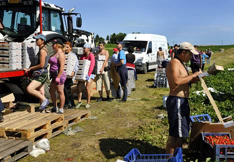 Ukrainalaiset poimivat mansikoita Koivistoisen Mansikkapaikassa Tennilässä vuonna 2018.
