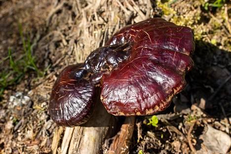 Lakkakääpä on maailmalla arvostettu lääkinnällinen sieni, jota käytetään lukuisiin vaivoihin.