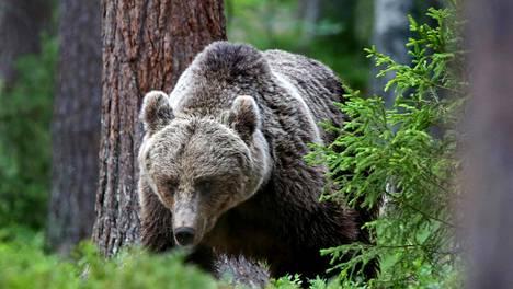 Karhut käyskentelevät vanhoissa metsissä dokumentissa Suomalaiset ikimetsät.