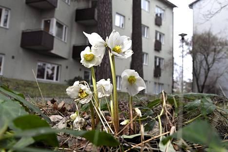 20. tammikuuta: Jouluruusu kukki taloyhtiön pihalla Helsingin Käpylässä.