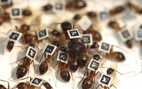 Viivakoodin avulla voi seurata yksittäisiä muurahaisia. Kuva on Lausannen yliopiston ja Sveitsin teknillisen instituutin tutkimuksesta.