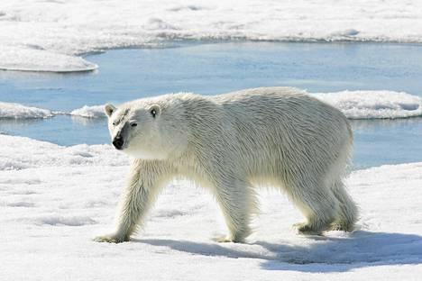 Jääkarhu Huippuvuorten maisemassa.