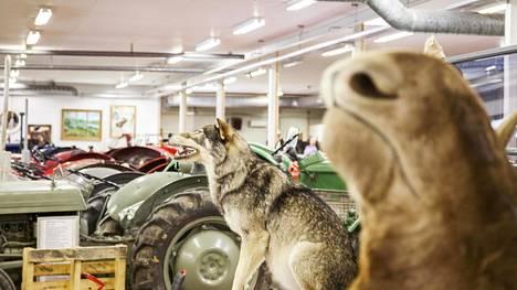 Kotajärven auto- ja traktorimuseo Sastamalassa esittelee ajoneuvojen lisäksi museon perustajan Seppo Kotajärven metsästysmuistoja.
