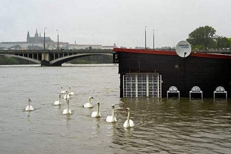 Joutsenparvi ui tulvan vallassa olevan ravintolan ohi Prahassa maanantaina.