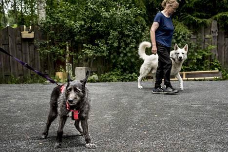 Viki-koira on luonteeltaan hyvin arka ja pelokas. Koirakoulussa saadut työkalut ovat kuitenkin helpottaneet sen arkea. Taustalla ohitusharjoituksissa häiriökoirana toiminut Pyry-koira omistajansa Marjaana Nissisen kanssa.