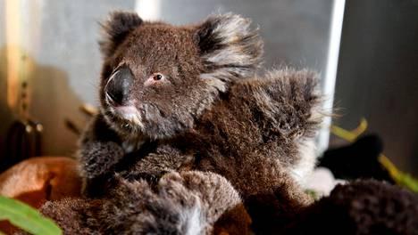 Orvoksi jäänyt koalan poikanen villieläinten hätäkeskuksessa Parndanassa Australiassa 19. tammikuuta.