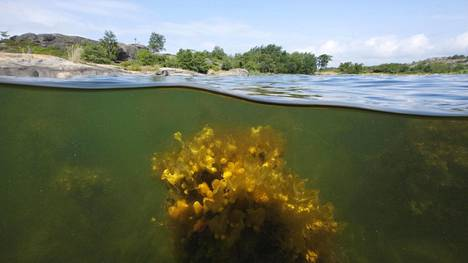 Ilmastonmuutos hidastaa Saaristomeren toipumista. Lämpötilan nousu lisää talvisia vesisateita, jotka huuhtovat ravinteita mereen. Veden suolapitoisuus puolestaan laimenee, mikä heikentää rakkohaurun lisääntymistä. Kuvassa rakkohaurukasvustoa Korppoon Konungskärin saaren edustalla heinäkuussa 2010.