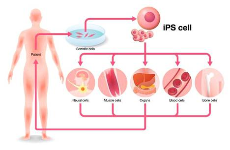 iPSC-soluja voi muuttaa ja ohjelmoida lähes kaikiksi ihmiskehon soluiksi.