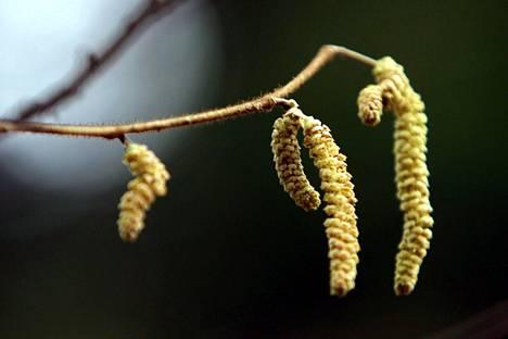 Pähkinäpensaat ovat keväisin ensimmäisiä siitepölyn levittäjiä.