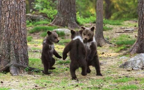 Karhunpennut tallentuivat Valtteri Mulkahaisen kuvaan.