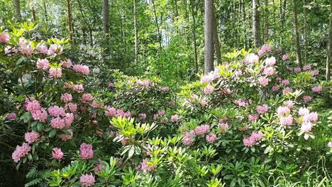 Laajalahdessa sijaitsevassa Anja Pankasalon puistossa on noin 50 alppiruusua.
