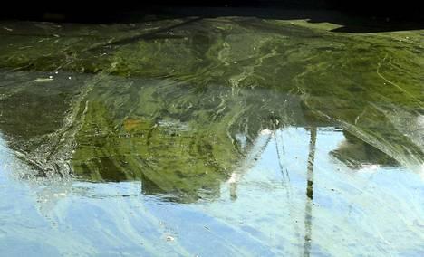 Sinilevää on havaittu järvillä ja merialueilla viime viikkoja enemmän, mutta levätilanne on Suomen ympäristökeskuksen Syken katsauksen mukaan ajankohtaan nähden tavallinen. Kuvan sinilevälautta havaittiin Pajalahden venesatamassa Helsingissä elokuussa 2020.