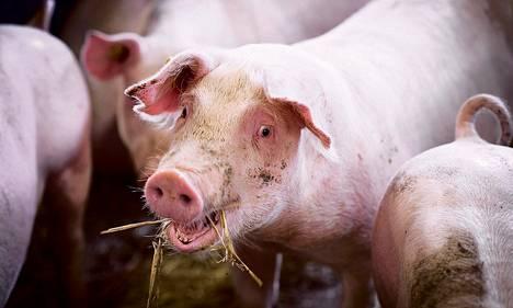 Suomesta vientiin lähtevä liha on lähinnä vähempiarvoisempaa lihaa, kuten sorkkia ja saparoita.