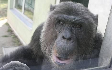 Ihmisten lähiserkut simpanssit vaihtavat lihaa seksiin kuin prostituoidut. Kuvassa wieniläinen simpanssi Hiasl.