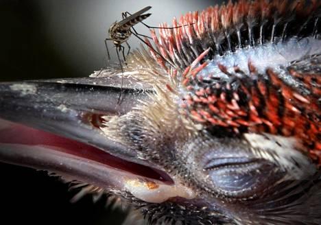 Hyttynen tikanpojan kimpussa.