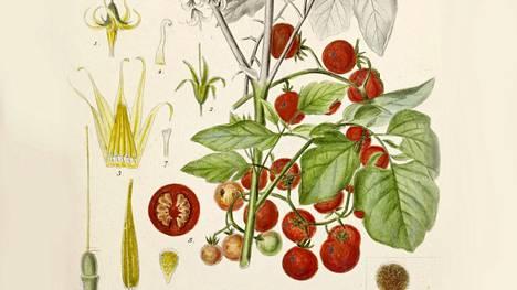 Villitomaatin (Solanum pimpinellifolium) marjat olivat vain herneen kokoisia.