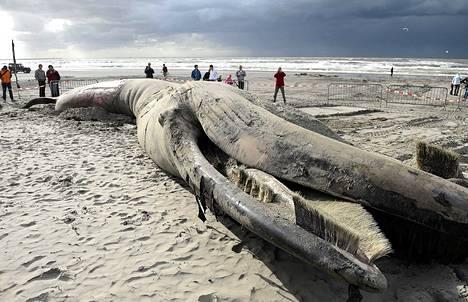 Ihmiset katselivat rantaan ajautunutta kuollutta sillivalasta Gravenzanden rannalla Hollannissa.