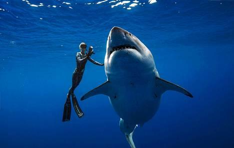 Sukeltajien tapaaman hain uskotaan olevan maailman suurin koskaan tavattu valkohai.