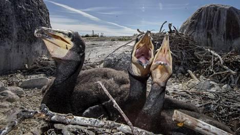 Merimetso palasi Suomen pesimälinnustoon 1990-luvun lopulla. Kanta kasvoi voimakkaasti mutta on nyt vakiintunut noin 25 000 pariin. Kuva Kirkkonummelta heinäkuussa 2015.