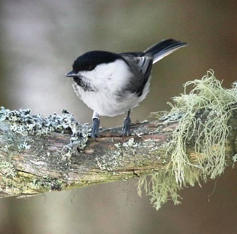 Metsätalous on merkittävä lintukantojen vähenemisen syy. Hömötiainen oli ennen Suomen metsien runsaimpia lajeja, mutta niiden määrä on vähentynyt rajusti. Hömötiainen luokitellaan nykyisin erittäin uhanalaiseksi.