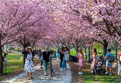 Vierailijoista täyttynyt kirsikkapuisto kukki näyttävästi Helsingin Roihuvuoressa helatorstaina.